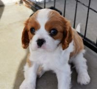 Cavalier King Charles Spaniel Puppies for sale in Penn Ave, Pittsburgh, PA, USA. price: NA