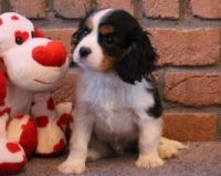 Cavalier King Charles Spaniel Puppies for sale in Nashville, TN 37219, USA. price: NA