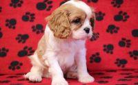Cavalier King Charles Spaniel Puppies for sale in Philadelphia, PA 19109, USA. price: NA