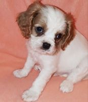 Cavalier King Charles Spaniel Puppies for sale in Indianapolis, IN 46218, USA. price: NA