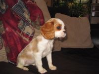 Cavalier King Charles Spaniel Puppies for sale in St Croix Falls, WI 54024, USA. price: NA
