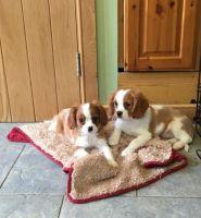 Cavalier King Charles Spaniel Puppies for sale in Visalia, CA, USA. price: NA