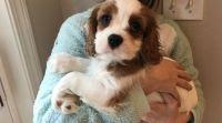Cavalier King Charles Spaniel Puppies for sale in Arlington, VA, USA. price: NA