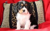 Cavalier King Charles Spaniel Puppies for sale in Las Cruces, NM, USA. price: NA