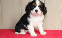 Cavalier King Charles Spaniel Puppies for sale in Orlando, FL 32868, USA. price: NA