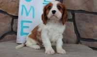 Cavalier King Charles Spaniel Puppies for sale in Phoenix, AZ 85069, USA. price: NA