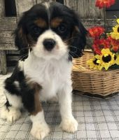 Cavalier King Charles Spaniel Puppies for sale in Baltimore, MD, USA. price: NA