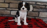 Cavalier King Charles Spaniel Puppies for sale in Baton Rouge, LA, USA. price: NA
