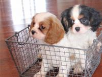 Cavalier King Charles Spaniel Puppies for sale in Beverly Hills, CA, USA. price: NA