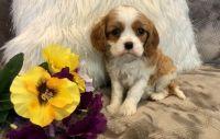 Cavalier King Charles Spaniel Puppies for sale in Newark, NJ 07107, USA. price: NA