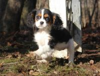 Cavalier King Charles Spaniel Puppies for sale in Elliottville, KY 40317, USA. price: NA