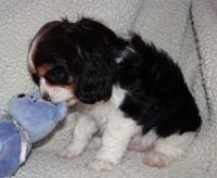 Cavalier King Charles Spaniel Puppies for sale in Eastpointe, MI 48021, USA. price: NA