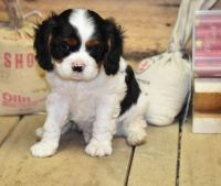 Cavalier King Charles Spaniel Puppies for sale in Jackson, MS, USA. price: NA