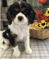 Cavalier King Charles Spaniel Puppies for sale in Albuquerque, NM, USA. price: NA
