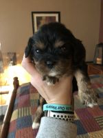 Cavalier King Charles Spaniel Puppies for sale in Davenport, IA, USA. price: NA