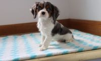 Cavalier King Charles Spaniel Puppies for sale in San Diego, CA, USA. price: NA