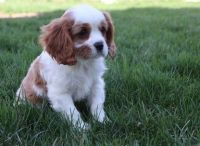 Cavalier King Charles Spaniel Puppies for sale in Lake Carolyn Pkwy, Irving, TX 75039, USA. price: NA