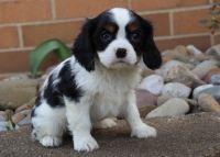Cavalier King Charles Spaniel Puppies for sale in Lansing, MI, USA. price: NA