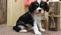 Cavalier King Charles Spaniel Puppies for sale in Charleston, WV 25356, USA. price: NA