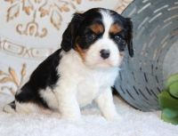 Cavalier King Charles Spaniel Puppies for sale in Scottsdale Dr, Richardson, TX 75080, USA. price: NA