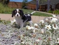 Cavalier King Charles Spaniel Puppies for sale in Hartford, CT 06143, USA. price: NA