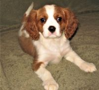 Cavalier King Charles Spaniel Puppies for sale in Huntsville, AL, USA. price: NA