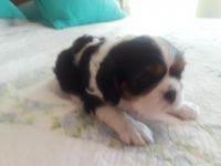 Cavalier King Charles Spaniel Puppies for sale in Waxahachie, TX, USA. price: NA