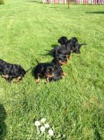 Cavalier King Charles Spaniel Puppies for sale in Pondfield Rd, Bronxville, NY 10708, USA. price: NA