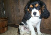 Cavalier King Charles Spaniel Puppies for sale in Cleveland, OH, USA. price: NA