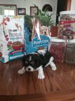 Cavalier King Charles Spaniel Puppies for sale in Arpin, WI 54410, USA. price: NA