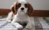 Cavalier King Charles Spaniel Puppies for sale in Renton, WA, USA. price: NA