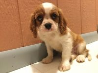 Cavalier King Charles Spaniel Puppies for sale in Cynthiana, KY 41031, USA. price: NA