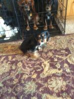 Cavalier King Charles Spaniel Puppies for sale in Cloudcroft, NM 88317, USA. price: NA