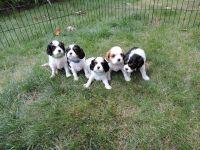 Cavalier King Charles Spaniel Puppies for sale in Stuarts Draft, VA, USA. price: NA