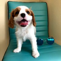 Cavalier King Charles Spaniel Puppies for sale in Murrieta, CA, USA. price: NA