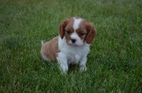 Cavalier King Charles Spaniel Puppies for sale in Rock Valley, IA 51247, USA. price: NA