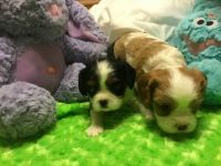 Cavalier King Charles Spaniel Puppies for sale in Bartow, FL, USA. price: NA