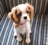 Cavalier King Charles Spaniel Puppies for sale in FL-434, Wekiwa Springs, FL, USA. price: NA