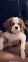 Cavalier King Charles Spaniel Puppies for sale in Washington, DC, USA. price: NA