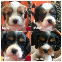 Cavalier King Charles Spaniel Puppies for sale in Gig Harbor, WA, USA. price: NA