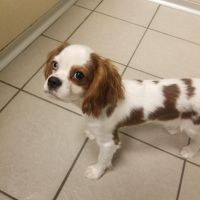 Cavalier King Charles Spaniel Puppies for sale in Waterford Twp, MI, USA. price: NA