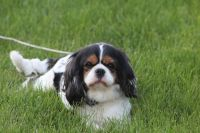 Cavalier King Charles Spaniel Puppies for sale in Plain City, OH 43064, USA. price: NA