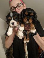 Cavalier King Charles Spaniel Puppies for sale in Dewitt, MI 48820, USA. price: NA