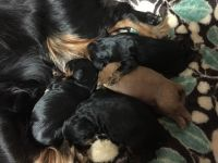 Cavalier King Charles Spaniel Puppies for sale in Berwick, PA, USA. price: NA