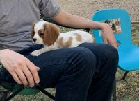 Cavalier King Charles Spaniel Puppies for sale in Mesa, AZ 85207, USA. price: NA