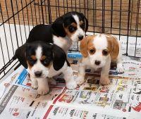 Cavalier King Charles Spaniel Puppies for sale in Brighton, MI 48116, USA. price: NA