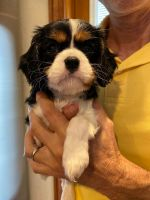 Cavalier King Charles Spaniel Puppies for sale in Ormond Beach, FL, USA. price: NA