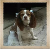 Cavalier King Charles Spaniel Puppies for sale in Clarksville, TN 37040, USA. price: NA