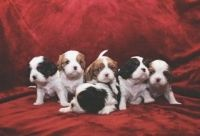 Cavalier King Charles Spaniel Puppies for sale in Nampa, ID, USA. price: NA