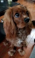 Cavalier King Charles Spaniel Puppies for sale in Philadelphia, PA, USA. price: NA
